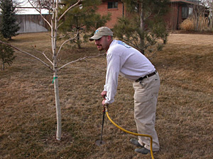 Are Your Pines, Spruce or Other Evergreens Looking Bad? Read about Winter Watering on Tree Service Castle Rock treecare blog >>